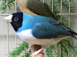 MALE: Black head, white breast, blue back