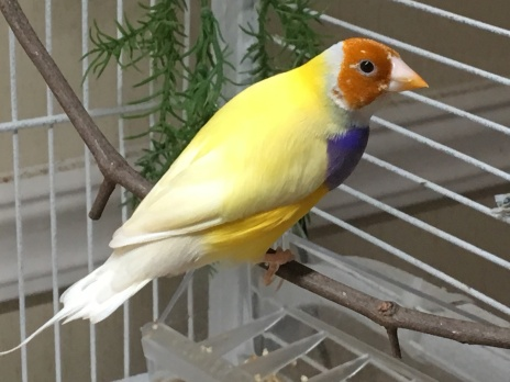 MALE: Orange head, Purple breast, Double factor yellow back