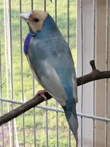 MALE: Red head, Purple breast, Single factor blue back