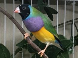 Male: Black Head, Purple Breast, Green Back