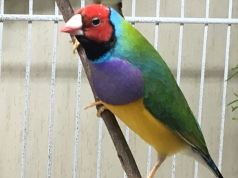 Male: Red head, Purple breast, green back