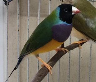 MALE: Black head, purple breast, green back