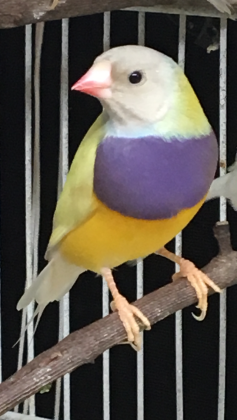 MALE: Black head, Purple Chest, Single Factor Yellow Back. carries red-head and possible blue