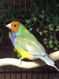 Male- Orange head, purple breast, single factor Green back