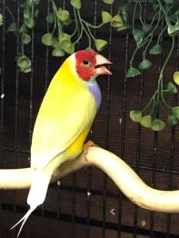 Male- Red head, Lilac Breast, double factor Yellow back